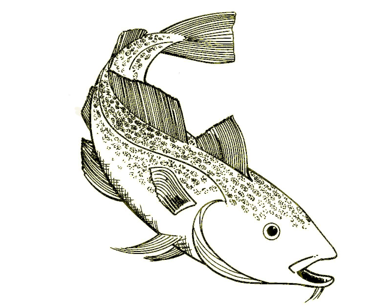 drawing of a cod