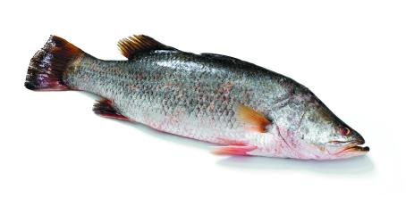 Barramundi for Barramundi fish taste